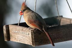 female cardinal (JGKphotos) Tags: bird birds cardinal femalecardinal 70d johnkunze