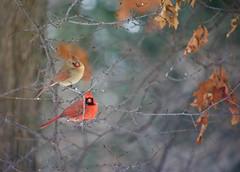 Mr & Mrs Cardinal (danbruell) Tags: winter bird cardinal