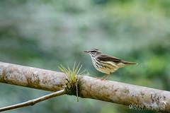 Pizpita de RioEA5A6952 (Gloria Archilla) Tags: birds puertorico aves carite charcaazul gloriaarchilla canon7dii