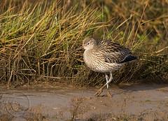 Curlew in habitat (Guy_Rogers) Tags: bird nature walking mud norfolk habitat mudflats curlew wader numeniusarquata