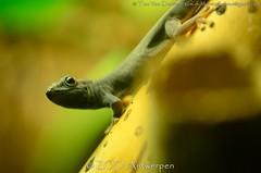 Azuurblauwe daggekko - Lygodactylus williamsi (m) - Turquoise Dwarf Gecko (MrTDiddy) Tags: zoo blauw dwarf reptile turquoise m gecko antwerp dag blauwe antwerpen zooantwerpen gekko reptiel reptillian williamsi lygodactylus azuur daggekko azuurblauwe