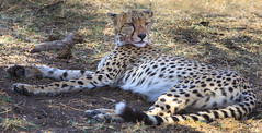 Stay Relaxed (AnyMotion) Tags: africa travel cats nature animal animals cat tanzania tiere reisen wildlife ngc natur npc afrika cheetah katze lying relaxed katzen entspannt 6d gepard tansania 2015 acinonyxjubatus serengetinationalpark liegend anymotion canoneos6d