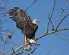 Bald Eagle 0038 (frank.kocsis1) Tags: fish colorado adult baldeagle cherrycreekstatepark coloradowildlife frankkocsis seealbumformorephotos