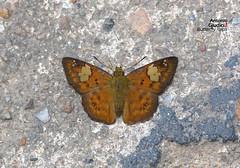 Pseudocoladenia festa (no common name yet) (Antonio Giudici Butterfly Trips) Tags: thailand butterflies lepidoptera chiangdao hesperiidae pyrginae pseudocoladeniafesta