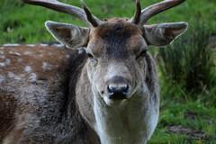 Daim (Passion Animaux & Photos) Tags: france deer parc fallow daim saintecroix animalier