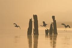 Herons at dawn (Artur Rydzewski) Tags: light sunset sun lake reflection bird heron nature birds animals set sepia sunrise contraluz lago dawn ngc reflejo ardeacinerea loch siluetas greyheron czapla czaplasiwa czaple challengegamewinner