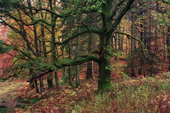 Oak Tree in Autumn (S i m o n . M a y s o n) Tags: wood autumn colour tree leaves forest woodland landscape scotland oak perthshire