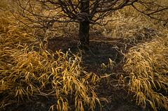 Around the Tree (JeffStewartPhotos) Tags: park toronto ontario canada tree grass harbourfront grasses metasequoia parkland canadasquare dawnredwood walkingwithdavidw