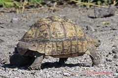 leopard tortoise (stigmochelys pardalis) (Colin Pacitti) Tags: animal outdoor ngc tortoise npc leopardtortoise coth wildtortoise fantasticwildlife stigmochelyspardalis hennysanimals sunrays5