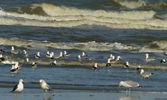 Gulls (Geminiature Nature+Landscape Photography Mallorca) Tags: birds terschelling gulls vogels aves aus meeuwen