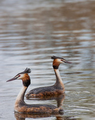 On the lookout (hakon hjartdal) Tags: bird animal outdoor lookout aquatic grebe greatcrestedgrebe aquaticbird