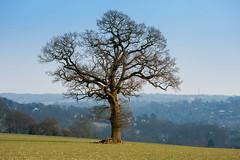 _DSC8178 (Rosemarie Dekert) Tags: winter tree field landscape berkhamsted 2016 dacorum