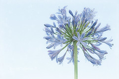 blue sky (stacey catherine) Tags: flowers blue sky flower nature garden peace clear serenity layers agapanthus
