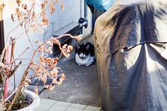 Today's Cat@2016-04-06 (masatsu) Tags: cat pentax cc100 catspotting mx1 thebiggestgroupwithonlycats