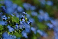 Springtime Bokeh (NVenot) Tags: flowers blue flower nature vintage lens outdoors spring bokeh russian helios 442