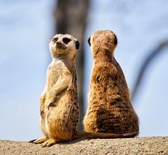 Lookouts (Warren Parsons) Tags: ohio usa animals mammal meerkat places toledo toledozoo subjects
