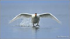 I'm coming to git you... (Earl Reinink) Tags: swan nikon earl d5 muteswan naturephotography nikond5 earlreinink reinink aahdauhdra