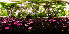 under the rose bush (117/366) (severalsnakes) Tags: plant flower rose petals bush 360 missouri underneath shrub ricoh spherical degrees theta sedalia libertypark thetas theta360 saraspaedy