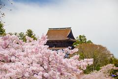 IMG_5209 (Rj Wu) Tags: japan cherryblossom  nara kansai           sukura                 hanayaguraview