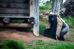 cathyb-20160428-IMG_9017.jpg (madelinefluffbum) Tags: animal zoo gorilla oz australia victoria vic downunder werribeezoo plainkeywords