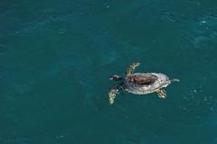 Żółw morski | See turtle