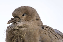 Fledgling (Kev Gregory (General)) Tags: uk roof house america fence parents asia warm sitting nest dove watching north young sigma safari species 50500 gregory neighbour subtropical kev eurasian fledgling collared collareddove temperate streptopelia decaocto