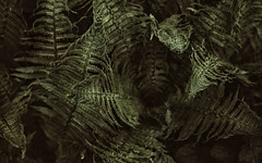 new ferns (glasseyes view) Tags: plants fern forest spring springtime glasseyesview