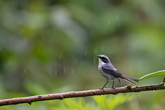 Gr buskskvtta_N81_0347 (Niklas_N) Tags: china bird nature nikon wildlife yunnan kina fglar nikkorafs500mmf4edvr