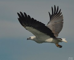 DSC_0017 (RUMTIME) Tags: bird nature birds fly flying flight feathers feather queensland seaeagle coochie coochiemudlo birdperfect