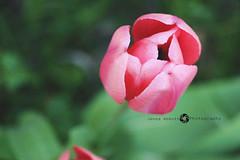 38/365 (JennaAbbottPhotography) Tags: pink flower pretty pinkflower 365 365day 365dayproject