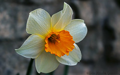 Narcissus (Luca Morales Guinaldo) Tags: flower flor daffodil narciso narcissus