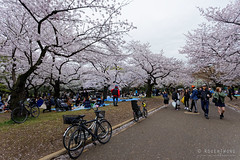 20160405-054-Picnics under Yoyogi-koen cherry blossoms (Roger T Wong) Tags: travel people holiday japan garden balloons tokyo spring picnic crowd harajuku cherryblossoms canonef1740mmf4lusm yoyogikoen 2016 canon1740f4l canoneos6d rogertwong