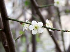winter star (oneroadlucky) Tags: white plant flower nature plum