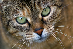 IMG_6929_DxO (mbotte) Tags: animal chat yeux flin canon300mmf4isusm