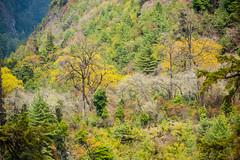 Manaslu round, Nepal. (David Ducoin) Tags: nepal forest trekking asia np himalaya manaslu gorkha