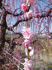 16i5201 (kimagurenote) Tags: apricot ume  japaneseapricot  prunusmume sogabairin   odawarakanagawa