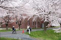 Shrouded (Wunkai) Tags: bike japan 桜 cherryblossom sakura さくら 茨城 ibarakiken 1chome 1丁目 桜川市 sakuragawashi