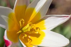 Grand coeur jaune (StephanExposE) Tags: paris france flower macro nature fleur canon garden jardin 100mm tulip iledefrance parc vincennes tulipe 600d macrophotographie parcfloraldeparis 100mmf28lmacroisusm stephanexpose