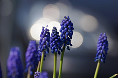 Traubenhyazinthen (nardo1569) Tags: blue flower nature spring blau blume grape hyacinth springtime frhling hyazinthe traubenhyazinthe