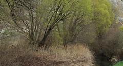 printemps (bulbocode909) Tags: nature eau suisse vert arbres printemps roseaux valais