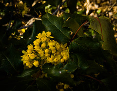 Oregon grape bouquet