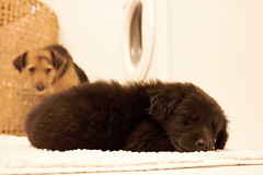 Hapu & Jacques (Doris Baric) Tags: sleeping two dog pets black cute animals puppy bathroom babysitter