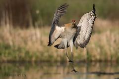 Sandhill crane (Gregory Lis) Tags: crane britishcolumbia sandhillcrane gruscanadensis burnabylake nikond810 gorylis gregorylis