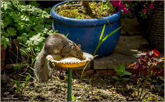 My little Buddy (mattpacker1978) Tags: plants color tree love home nature up canon garden eos rodent photo squirrel colours close mud natural feeding earth border watching gray pots feed dslr climing rodents melanistic sciuridae 700d shadowtailed