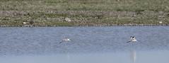 Avocet (27) (Mal.Durbin Photography) Tags: nature birds newport naturereserve newportwetlands maldurbin goldcliffnewport