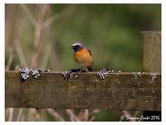 DS0D2886-Redstart (duncancooke.happydayz) Tags: uk bridge bird nature birds animal woodland garden photo outdoor wildlife border british hay redstart distinguishedbirds birdperfect naturesgreenpeace