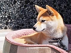 Explored : 2016.04.15 Shiba - inu, Momo (eriko_jpn) Tags: puppy momo shibainu japanesedog