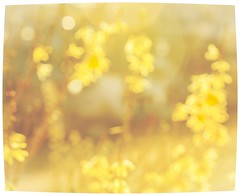 Let's party (Tracey Rennie) Tags: sunset abstract blur yellow golden spring warm bokeh forsythia april dimamanuel