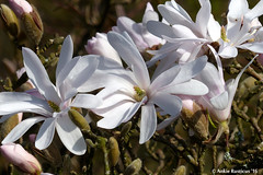 Magnolia (Ankie Rusticus, I'm not much here) Tags: nature duck spring natuur lente bloemen eend vogel burd
