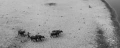 Agra (ayashok photography) Tags: bw india monument asian blackwhite nikon asia indian taj tajmahal agra desi bnw bharat bharath desh barat cwc uttarpradesh yamuna barath mugal 2013 shajahan ayashok nikond700 tokina1735mm chennaiweekendclickers ayashokphotography mehtabbaghgarden